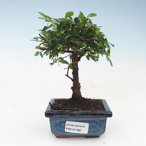 Kryty bonsai - Ulmus Parvifolia-Elm 414-PB2191386