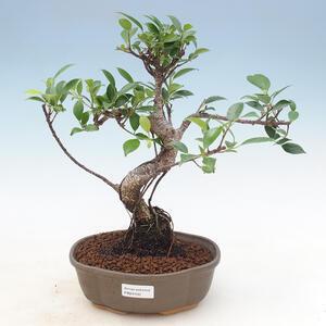 Kryty bonsai - Sagerécie thea - Sagerécie thea 414-PB2191400