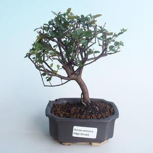 Kryty bonsai - Sagerécie thea - Sagerécie thea 414-PB2191403