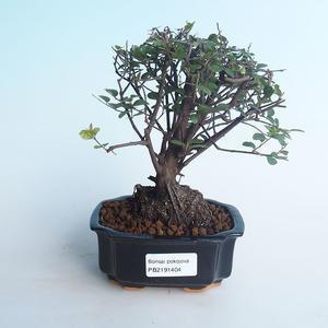 Kryty bonsai - Sagerécie thea - Sagerécie thea 414-PB2191404