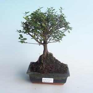 Kryty bonsai - Sagerécie thea - Sagerécie thea 414-PB2191407