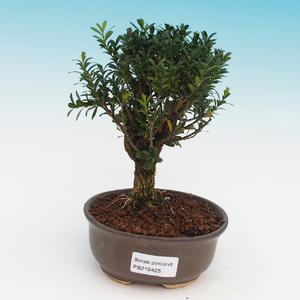 bonsai Room - Buxus harlandii - zakorkowany buxus