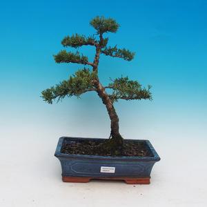 Bonsai na świeżym powietrzu - Juniperus chinensis - chiński jałowiec