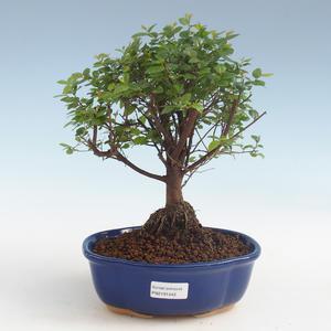 Kryty bonsai - Sagerécie thea - Sagerécie thea 2191442