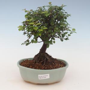 Kryty bonsai - Sagerécie thea - Sagerécie thea 2191444