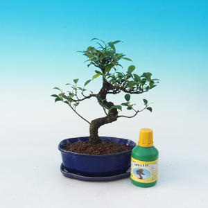 Carmona macrophylla - Tea Fuki