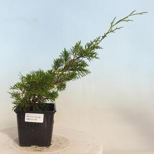 Kryty bonsai - Sagerécie thea - Sagerécie thea PB2191473