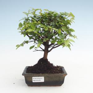 Kryty bonsai - Sagerécie thea - Sagerécie thea PB2191476
