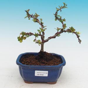 Outdoor bonsai - Chaenomeles superba biały jet szlak -Kdoulovec