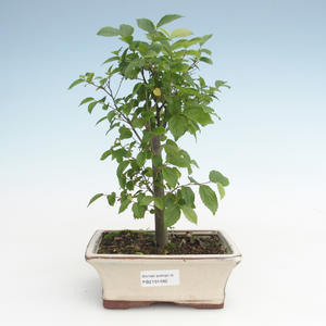 Kryty bonsai - Celtis chinensis - hackberry PB2191482