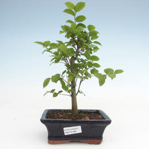Kryty bonsai - Celtis chinensis - hackberry PB2191488