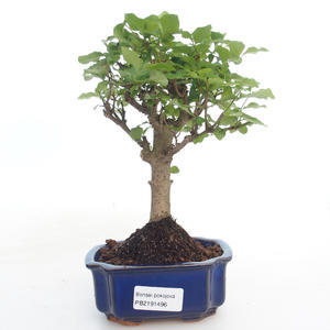 Kryty bonsai -Ligustrum chinensis - Privet PB2191496