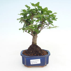 Kryty bonsai -Ligustrum chinensis - Privet PB2191491