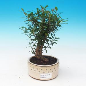bonsai Room - syzygium - Pimentovník