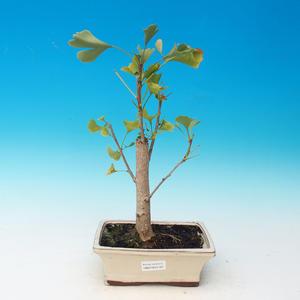 Outdoor bonsai - Ginkgo biloba