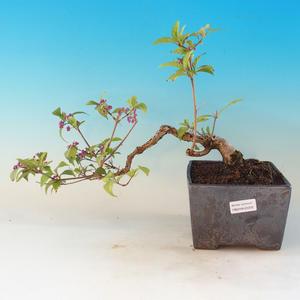 Outdoor bonsai - piękny Callicarpa