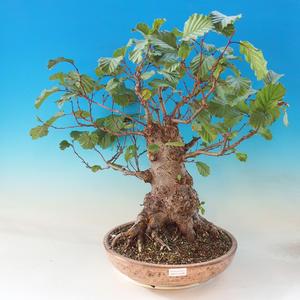 Outdoor bonsai - Lepkie nietoperze - Alnus glutinosa