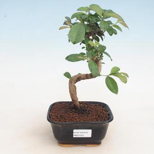 Pokojová bonsai - Australská třešeň - Eugenia uniflora