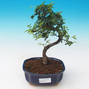 bonsai Room - Ulmus parvifolia - Malolistý wiąz