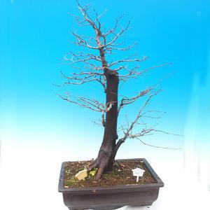 Outdoor bonsai - Karp zwyczajny - Carpinoides Carpinus