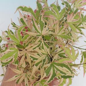 Outdoor Bonsai - Klon japoński Acer palmatum Butterfly 408-VB2019-26728