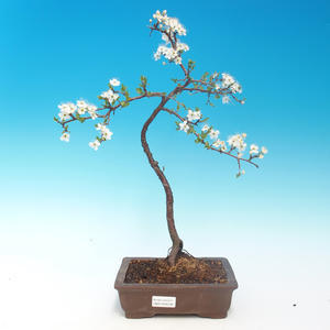 Outdoor bonsai - Prunus spinosa - tarnina