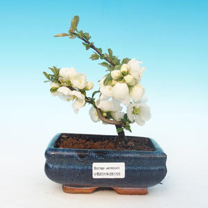 Outdoor bonsai - Chaenomeles superba jet trail - Biała pigwa