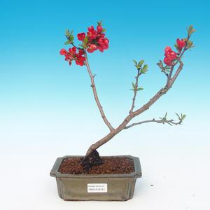 Outdoor bonsai - Chaneomeles japonica - japońska pigwa