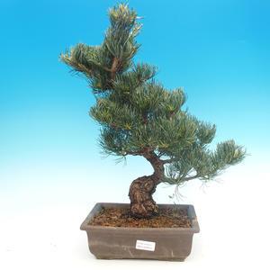 Outdoor bonsai - Pinus parviflora - Mała sosna