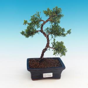 Plenerowi bonsai - Juniperus chinensis - Chiński jałowiec
