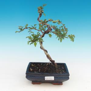 Outdoor bonsai - Single hawthorn