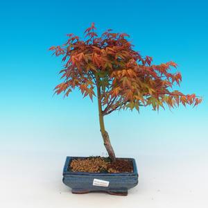 Outdoor Bonsai - Acer palmatum Beni Tsucasa - klon japoński