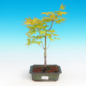Outdoor bonsai - Acer palmatum Aureum - Golden Japanese Maple