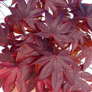Outdoor bonsai - dłoń Acer. Atropurpureum - japoński klon czerwony