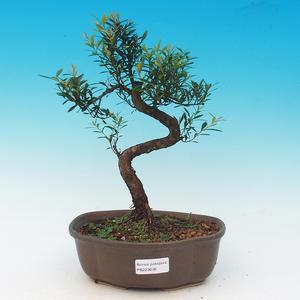 Pokój bonsai - Syzygium - Pimentovník
