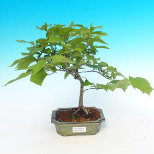 Outdoor bonsai - Ulmus Glabra - Elm