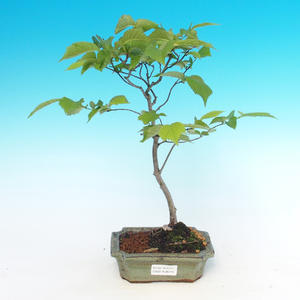 Outdoor bonsai - Ulmus Glabra - Elm