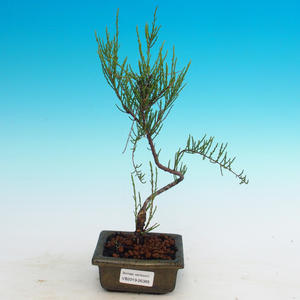Odkryty bonsai - Tamaris parviflora