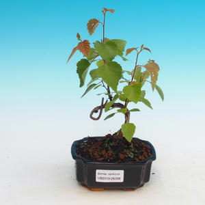 Outdoor bonsai - Betula verrucosa - Silver Birch