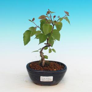 Outdoor bonsai - Betula verrucosa - Silver Birch
