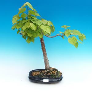 Outdoor bonsai - lipa drobnolistna