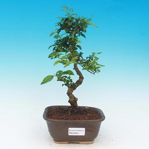 Pokój bonsai -Ligustrum chinensis - ligustr