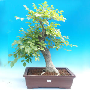 Outdoor bonsai - Fraxinus - Ash Mountain