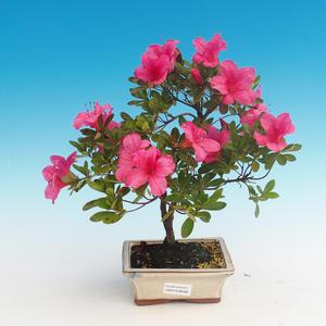 Outdoor bonsai - Rhododendron sp. - Azalia różowa