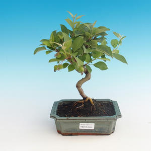 Outdoor bonsai - Malus halliana - jabłoń Malplate