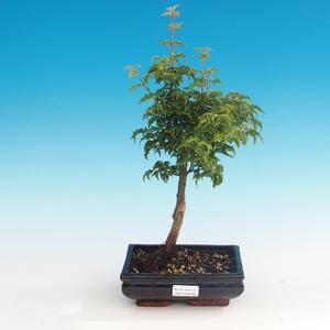 Outdoor bonsai - Acer palmatum SHISHIGASHIRA- klon mniejszy