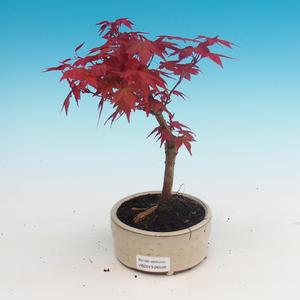 Outdoor bonsai - Klon palmatum DESHOJO - Klon dlanitolistý
