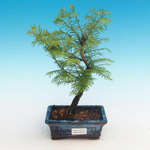 Outdoor bonsai - Dwuliniowy leszcz