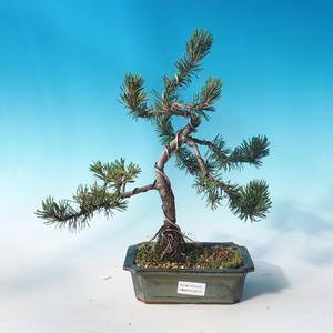 Outdoor bonsai - Pinus mugo Humpy - Pine Pine