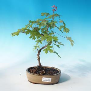 Klon bonsai-Acer Campestre-Maple